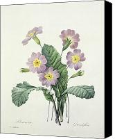 Botanical Engraving Canvas Prints - Primrose Canvas Print by Pierre Joseph Redoute