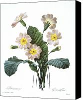 1833 Canvas Prints - Primrose (primula Aucalis) Canvas Print by Granger