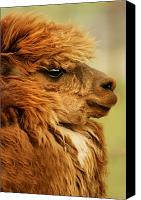Camelid Canvas Prints - Profile Of A Camelid Canvas Print by Con Tanasiuk