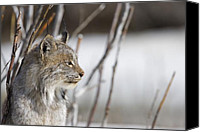 Denali Canvas Prints - Profile of a Lynx Canvas Print by Tim Grams