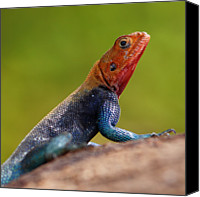 Animals In The Wild Canvas Prints - Profile Of Male Red-headed Rock Agama Canvas Print by Achim Mittler, Frankfurt am Main