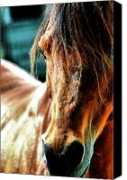 Arabians Canvas Prints - Profile of the Arabian Canvas Print by Emily Stauring