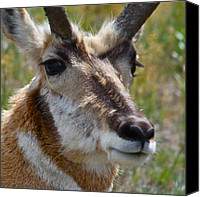 Bison Canvas Prints - Pronghorn Buck face study Canvas Print by Karon Melillo DeVega