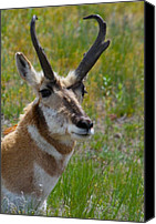 Bison Canvas Prints - Pronghorn Buck Canvas Print by Karon Melillo DeVega
