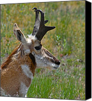 Bison Canvas Prints - Pronghorn Buck profile Canvas Print by Karon Melillo DeVega