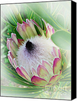 Queen Protea Photo Canvas Prints - Protea Flower 6 Canvas Print by Xueling Zou
