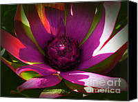 Queen Protea Photo Canvas Prints - Protea Flower 8 Canvas Print by Xueling Zou