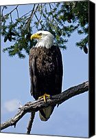 Father Christmas Canvas Prints - Proud Bald Eagle Canvas Print by Derek Holzapfel