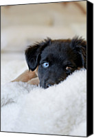 Dog Bed Photo Canvas Prints - Puppy Lying On Soft Blanket Canvas Print by Angela Auclair