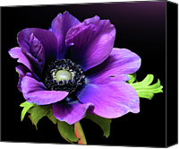Flower Photography Canvas Prints - Purple Anemone Flower Canvas Print by Gitpix