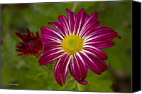 Violet Prints Photo Canvas Prints - Purple Aster Flower Close up Canvas Print by James Bo Insogna