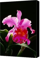 Cattleya Canvas Prints - Purple Cattleya Canvas Print by Tomas del Amo - Printscapes