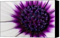Floral Canvas Prints - Purple Color Burst Canvas Print by Michael Herb
