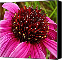 Indiana Dunes Canvas Prints - Purple Coneflower in Indiana Dunes National Lakeshore Canvas Print by Ruth Hager