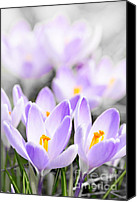Purple Flowers Canvas Prints - Purple crocus blossoms Canvas Print by Elena Elisseeva