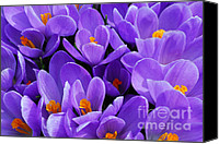 Crocus Canvas Prints - Purple crocus Canvas Print by Elena Elisseeva