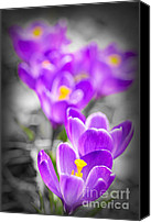 Crocus Canvas Prints - Purple crocus flowers Canvas Print by Elena Elisseeva