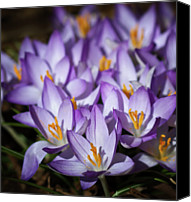 Crocus Canvas Prints - Purple Crocus Canvas Print by Straublund Photography