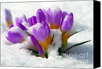 Crocus Canvas Prints - Purple Crocuses in the Snow Canvas Print by Sharon  Talson