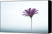 Provence Canvas Prints - Purple Daisy Against Sea & Sky Blurred Background Canvas Print by Alexandre Fundone