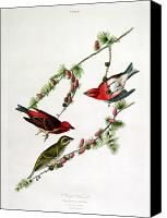 Finches Canvas Prints - Purple Finch Canvas Print by John James Audubon