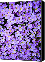 Garden Flowers Canvas Prints - Purple Flowers - Rockcress Canvas Print by Carol Groenen