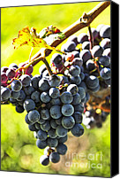 Sunny Vineyard Photo Canvas Prints - Purple grapes Canvas Print by Elena Elisseeva