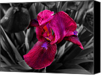 Selective Color Mixed Media Canvas Prints - Purple Iris Canvas Print by Ms Judi