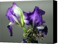 Droopy Canvas Prints - Purple Iris Water Drops Canvas Print by Brian Wallace