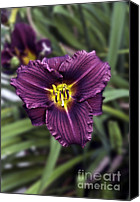 Lotus Full Bloom Canvas Prints - Purple Lilly Canvas Print by Jim Chamberlain