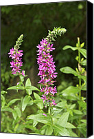 Invasive Canvas Prints - Purple Loosestrife 5323 Canvas Print by Michael Peychich