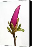 Wild-flower Canvas Prints - Purple Magnolia Canvas Print by Heiko Koehrer-Wagner