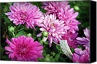 Chrysanthemums Photographs Canvas Prints - Purple Mums Canvas Print by Cricket Hackmann