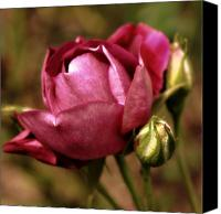 Floral Photo Canvas Prints - Purple Rose Canvas Print by Cathie Tyler