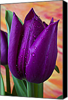 Purples Canvas Prints - Purple Tulip Canvas Print by Garry Gay