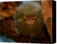 Monkeys Canvas Prints - Pygmy Marmoset Canvas Print by Anthony Jones