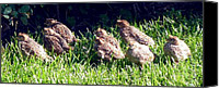 Quail Canvas Prints - Quail Chicks Canvas Print by Will Borden
