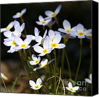 Bluet Canvas Prints - Quaker Ladies  Canvas Print by Neal  Eslinger