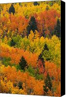 Fall Scenes Canvas Prints - Quaking Aspen And Ponderosa Pine Trees Canvas Print by Ralph Lee Hopkins