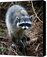 Raccoon Digital Art Canvas Prints - Raccoon  Canvas Print by Anthony Jones