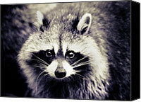 Animal Portrait Canvas Prints - Raccoon Looking At Camera Canvas Print by Isabelle Lafrance Photography