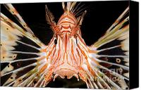 Lionfish Canvas Prints - radial Lionfish Pterois radiata Canvas Print by Hagai Nativ