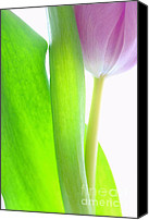 Tulip Canvas Prints - Radiant Beauty Canvas Print by Kristin Kreet