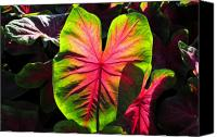 Caladium Photo Canvas Prints - Radiant Caladium Canvas Print by David Lee Thompson