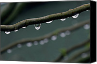 Windsor Canvas Prints - Rain Branch Canvas Print by Photography by Gordana Adamovic Mladenovic
