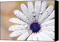 White Daisy Canvas Prints - Rain Soaked Daisy Canvas Print by Kaye Menner