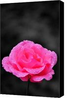 Selective Color Canvas Prints - Rain Spattered Rose - Color Isolation Canvas Print by Noah Cole