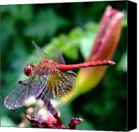 Meadowhawk Canvas Prints - Rainbow Canvas Print by Lisa Fenn