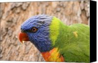 Parrot Canvas Prints - Rainbow Lorikeet Canvas Print by Mike  Dawson