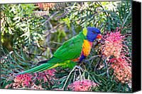 Wildlife Glass Special Promotions - Rainbow Lorikeet Canvas Print by Phil Stone